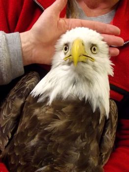 Bald eagle, now deceased, brought to Wildlife Rehabilitation Center of Northern Utah/AP, USA Today