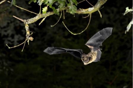 Serotene bat, undated/Nature Photographers LTD, Alamay, National Geographic