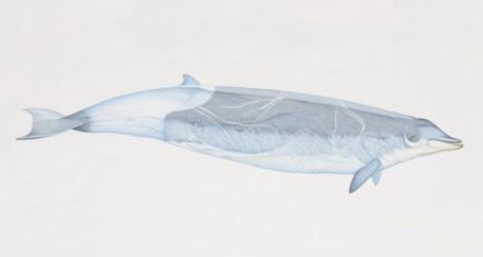 Illustration of True's beaked whale/Dorling Kindersley, Getty, Irish Times