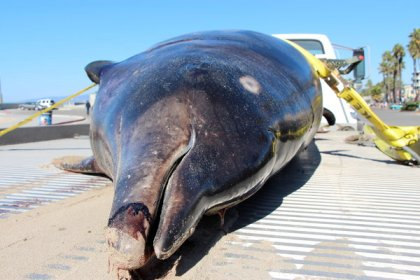 Stejneger's beaked whale found on Venice Beach, CA, Oct 16, 2013/Nick Fash, Heal the Bay, Los Angeles Times