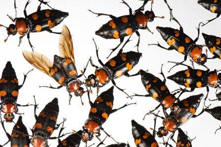 American Burying Beetle, Monsanto Insectarium, St. Louis Zoo, MO/Joel Sartore, National Geographic