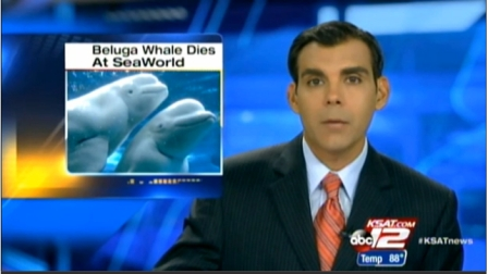 KSAT reports death of 4-year-old beluga, Bella, at SeaWorld San Antonio, August 25, 2013/KSAT.com