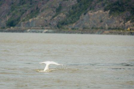 Beluga whale, Cook Inlet, Alaska, August 27, 2013/Lauren Holmes, Alaska Dispatch