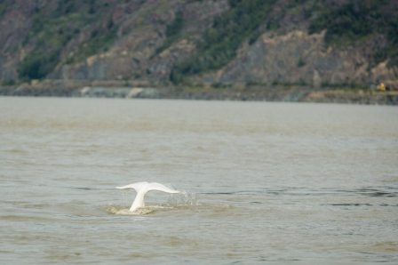 Beluga whale, Cook Inlet, Alaska, August 27, 2013/Lauren Holmes, Alaska Dispatch