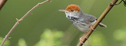Cambodian tailorbird, undated/BBC News