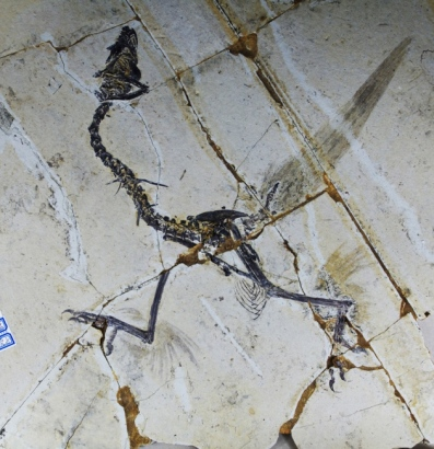 Fossil of basal avialon Sapeornis with winged legs, undated/Science, AAAS, Nature