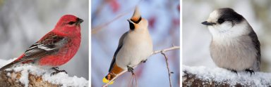 Pine Grosbeak, Bohemian Waxwing, Timber Jay/Paul Bannick, The New York Times