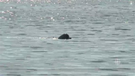 Bottlenose whale, Spry Bay, NS, Oct 11, 2013/ CBC News