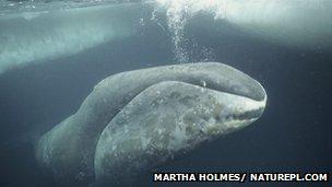 Bowhead whale/Martha Holmes, NaturePL.com, BBC Nature News