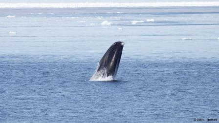 Bowhead whale off Greenland, undated/Kate Stafford, dw.de