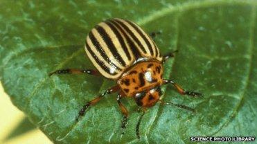 Colorado potato beetle, location & date unknown/Science Photo Library, BBC News