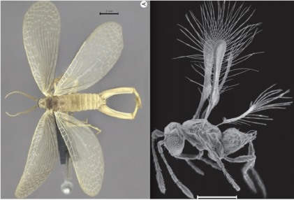 Brazilian Forcepfly (left), Costa Rican Fairyfly (right)/Renata Machado et. al. (let), John T. Huber et. al (right), Scientific American