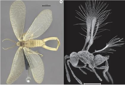 Brazilian Forcepfly (left), Costa Rican Fairyfly (right)/Renata Machado et. al. (let), John T. Huber et. al (right), Scientific American