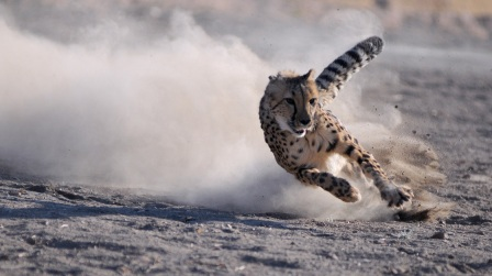 Male cheetah named Moyo chases lure, Animal Ark, Reno, NV, undated/Kevin Clifford, AP, NPR.org