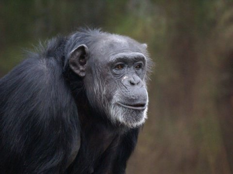 Unidentified chimpanzee, undated/Emory University, NBCNews.com