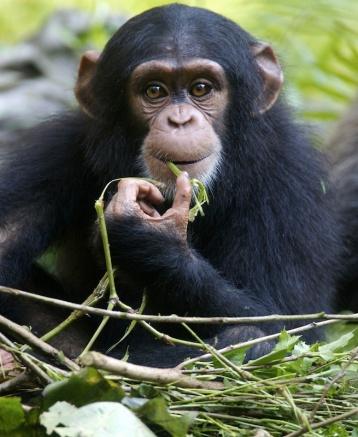 Young Chimpanzee, undated/Kitch Bin, Shutterstock, Live Science