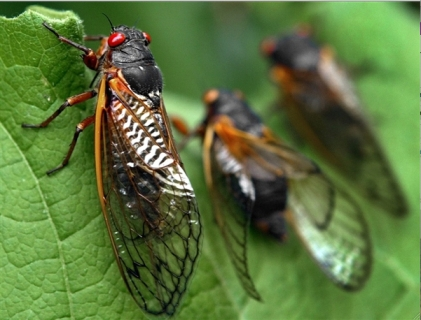 Red-eyed Brood X Cicadas, Annandale, Va, 2004/Ron Edmonds, AP, NBC News Cosmic Log
