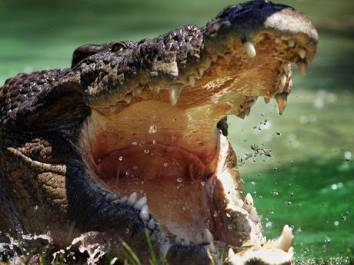 Saltwater crocodile, Australia, undated/The Independent