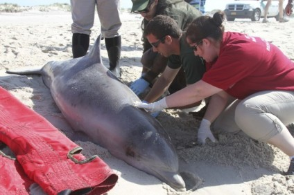 Officials examine dead dolphin, Long Island, NY, August 9, 2013/Riverhead Foundation for Marine Research and Preservation, Reuters, The Washington Post