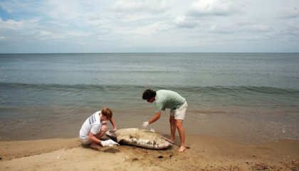 Members of Virginia Aqaurium Stranding Response Team examine dead dolphin, Norfolk, summer 2013/Dorothy Edwards, The Virginian-Pilot, AP, The New York Times