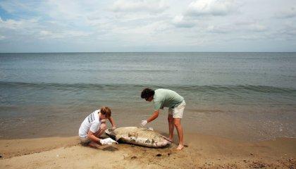 Members of Virginia Aqaurium Stranding Response Team examine dead dolphin, Norfolk, summer 2013/Dorothy Edwards, The Virginian-Pilot, AP, The New York Times