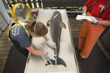 Staffer performs necropsy on dead dolphin, Virginia Aquarium Marine Animal Care Center, Virginia Beach, VA, August 6, 2013/L. Todd Spencer, The Virginian-Pilot, AP