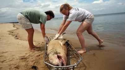 Dead dolphin, Virginia coastline, undated/Dorothy Edwards, The Virginia Pilot, AP, Quartz