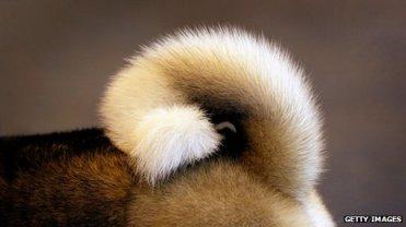 Unidentified dog tail/Getty, BBC News