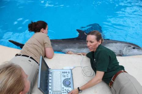 Veterinarian Jennifer Langan & Zoopkeeper Beth Miller take ultasound of 10-year-old Spree's fetus, Brookfield Zoo, undated/Paige Fumo Fox, Chicago Tribune