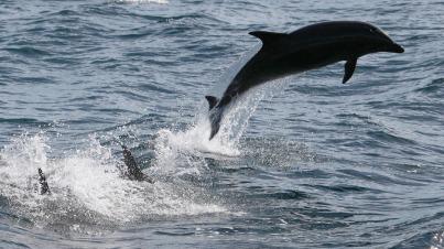 Bottlenose dolphins, Dana Point, CA, undated/David McNew, Getty, NPR.org