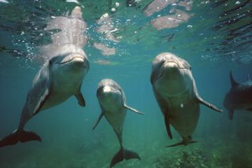 Unidentified dolphins, probably captive, undated/Stuart Westmorland, Getty, Time Magazine