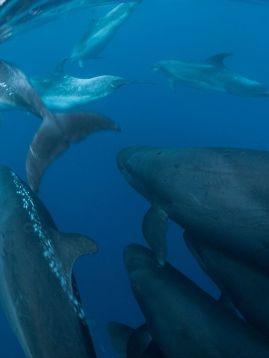 False killer whales and bottlenose dolphins off New Zealand, undated/Mazdac Radjainia, ABC Science