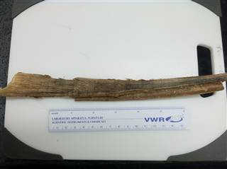 Wax ear plug from beached blue whale, undated/Stephen Trumble, Baylor University, NBC News.com