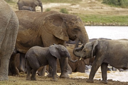 African elephants, Addo Elephant National Park, South Africa, undated/AP, The Wall Street Journal