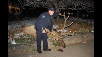 "Police Officer Sam Carter with Bull Elk  ""Big Boy,"" Boulder, Colorado, Jan 1, 2013/ Laura Koenig, 9News.com"