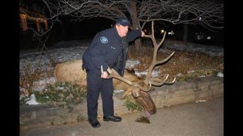 "Police Officer Sam Carter with Bull Elk  ""Big Boy,"" Boulder, Colorado, Jan 1, 2013/ Laura Koenig, 9News.com"