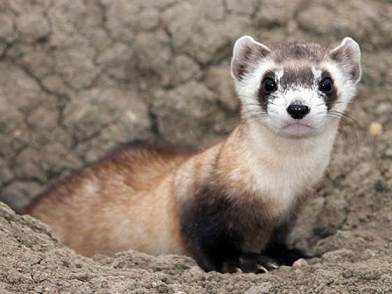 Black-footed ferret, once thought extinct, now thriving/USFWS, AP, NBC News