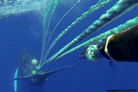 Entangled male humpback moments before being freed by rescuers operating knife on pole (right), near Lahaina, Hawaii, March 11, 2013/HIHWNMS | NOAA MMHSRP permit #932-1905, OurAmazingPlanet