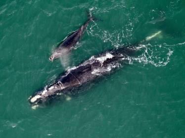 "North Atlantic right whale ""Equator"" & new calf off Cumberland Island, GA, Jan 21, 2013/Florida Fish and Wildlife Conservation Commission, ABC News"