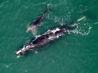 "North Atlantic right whale ""Equator"" & new calf off Cumberland Island, GA, Jan 21, 2013/Florida Fish and Wildlife Conservation Commission, ABC News"