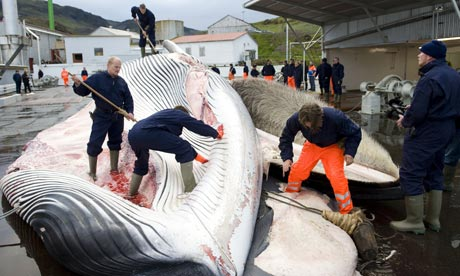 Whalers flay fin whale, Iceland, 2009/Halldor Kolbeins, AFP, Getty, The Guardian