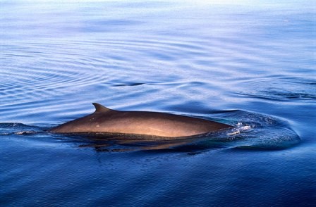Unidentified whale, possibly fin whale, location and date unspecified/Wolfgang Kaehler, Corbis, Discovery News