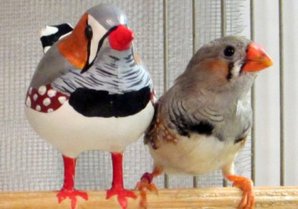 Baby zebra finch with model that helps it learn to sing, undated/Eva Ljubicic, The New York Times
