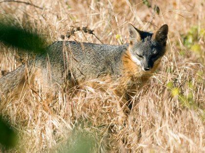 Island fox, Santa Cruz Island, CA, undated/Rich Reid, National Geographic