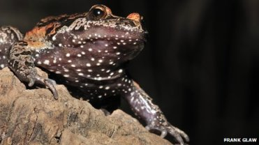 Israel's Hula painted frog, undated/ Frank Glaw, BBC News