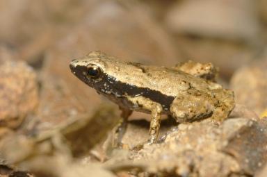 Male gardiner's frog, Seyschelles Islands, undated/R. Boistel, CNRS, Live Science
