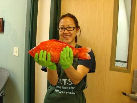 Researcher Christine Ngai with giant goldfish taken from Lake Tahoe, undated/U. of Nevada, Reno, RGJ.com