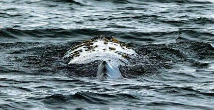 Gray whale near Long Beach, undated/Gina Ferazzi, Los Angeles Times