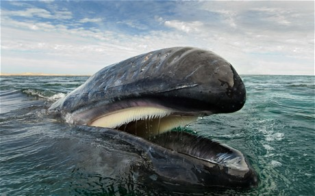 Gray whale, Gulf of California, undated/Christopher Swann, The Telegraph