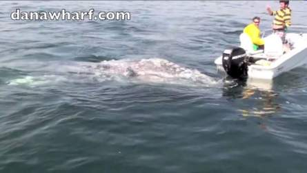 2 Gray whales check out small boat and boaters, Dana Point, California, March 17, 2013/ WIVB.com